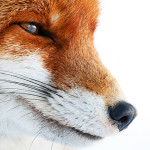 Review RWCMD The Cunning Little Vixen at the Sherman Theatre by Rebecca Hobbs